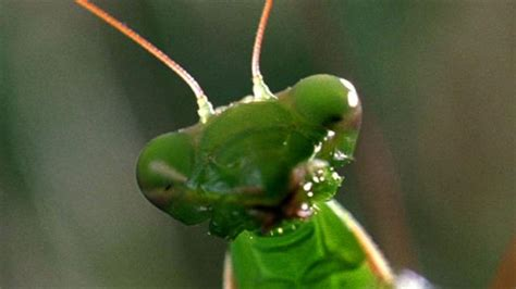 worlds weirdest deadly praying mantis love