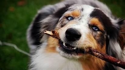 Shepherd Australian Dog Desktop Background Eye Definition