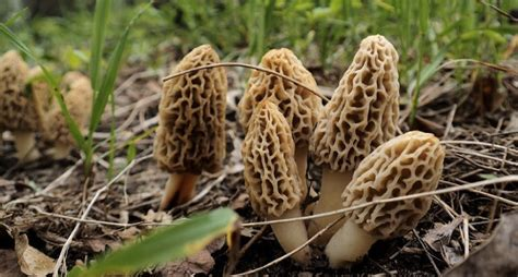find morel mushrooms  michigan forest fire map