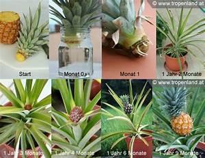 Was Kann Man Im August Noch Pflanzen : ananas selbst ziehen garten deko pinterest pflanzen ~ Lizthompson.info Haus und Dekorationen