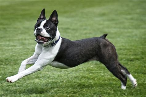 Everything You Need To Know About The Boston Terrier