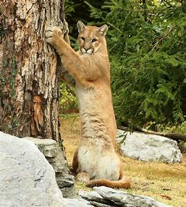 Mountain Lion | Mountain Lion - Puma - Cougar | Pinterest