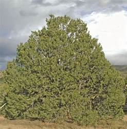 New Mexico State Pinon Tree