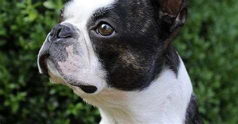 Musings Of A Biologist And  Ee  Dog Ee   Lover Mismark Case Study Boston Terrier