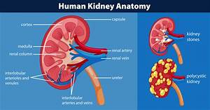 Human Kidney Anatomy Diagram