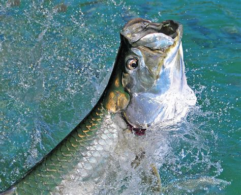 tarpon jumping fishing keys experience saltwater florida close chance everyone something should