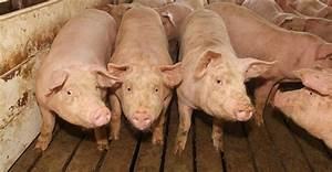 More Hogs And Higher Prices