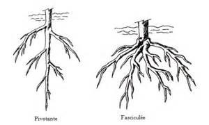 Profondeur Des Racines D Un Figuier : les racines vie fix e et r gne v g tal ~ Nature-et-papiers.com Idées de Décoration