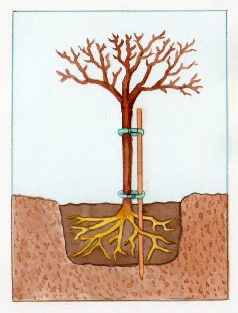 planter un pommier pratique fr