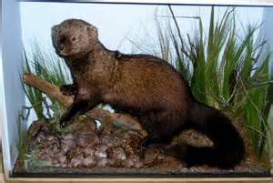 fisher cat images fisher cat beautiful s