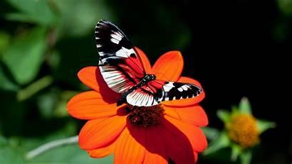 Butterfly Wallpapers Desktop Butterflies Flowers Flower Background