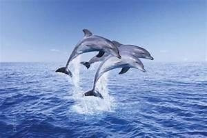 Schöne Delfin Bilder : poster drei delfine delphin delfin meer ozean sprung 61 x 91 5 cm maxiposter ebay ~ Frokenaadalensverden.com Haus und Dekorationen