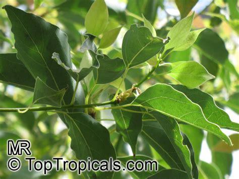 Cinnamomum Camphora, Camphor Tree, Camphor Laurel