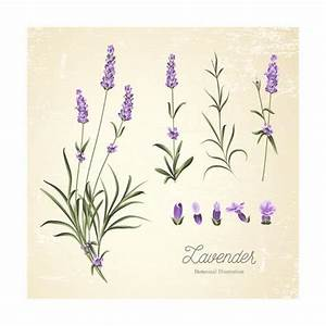 Vintage Set of Lavender Flowers Elements. Botanical ...