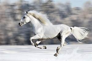 White Horse Galloping Through The Snow | Canvas Print ...