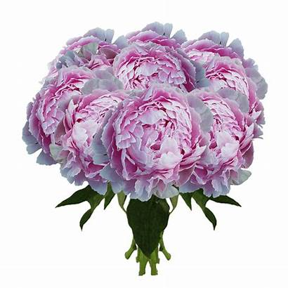 Peonies Peony Rose York Flowers Stems Delivery