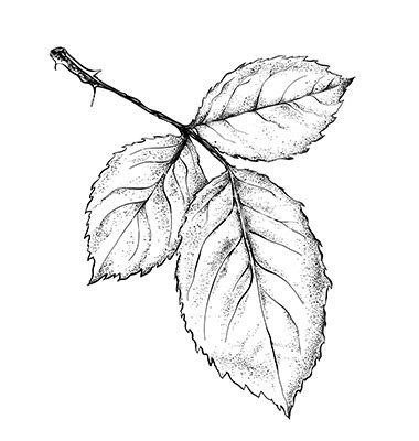 vector rose leaves images  rose outline vectors rose leaves vector   rose