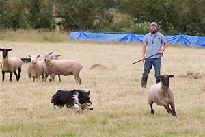 Sheep Herding Dogs   www.pixshark.com - Images Galleries ...