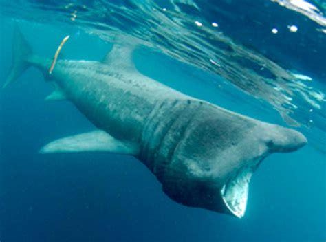 bbc cornwall  pictures basking sharks  lamorna