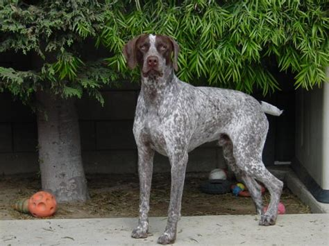 german shorthaired pointerpictures  dogs    dog