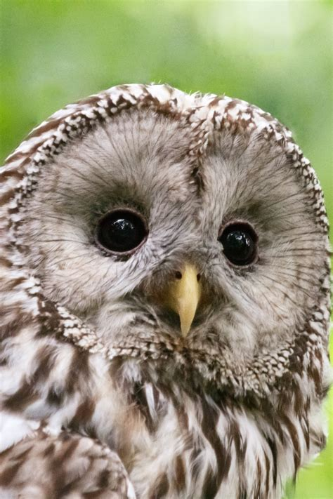 Ural Image by Ural Owl Free Stock Photo Domain Pictures