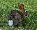 Image result for Cottontail Rabbit