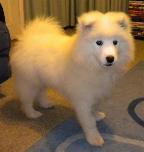 samoyed dog breed pictures