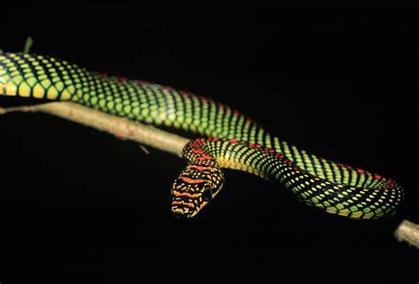 serpente volante chrysopelea paradisi il serpente volante ricorda gli