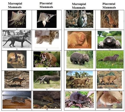 3 letter mammals marsupial vs placental mammals images quiz by 28571