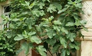 Feigenbaum Im Garten : feigenbaum echte feige ficus carica pflanzen schneiden und pflegen mein sch ner garten ~ Orissabook.com Haus und Dekorationen