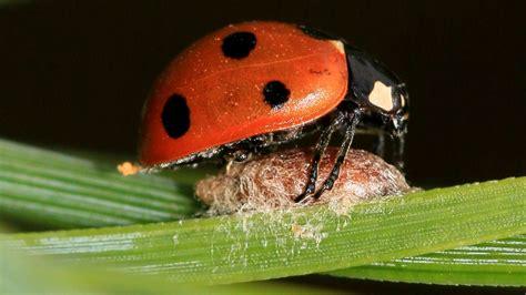 zombie animals parasites earth ladybug walk thanks thousands species parasitism host