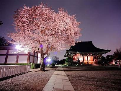 Blossom Cherry Japan Nature Background Desktop Sakura