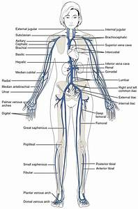 Blood Flow Through The Body Diagram  U2014 Untpikapps