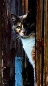 Calico Barn Cats
