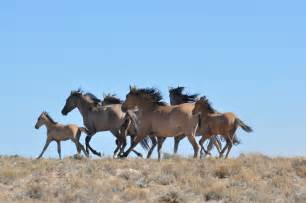 wild horses horse utah blm sulphur herd hma herds land grazing mustangs areas management destroying west american livestock adoption range