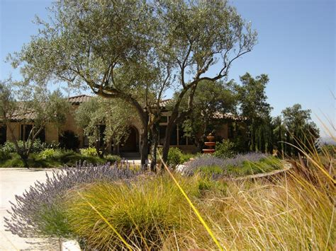 olive tree landscape front yard landscaping ideas hgtv
