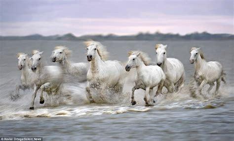 Seven White Running Horses Wallpaper Wwwimgkidcom