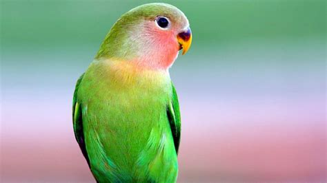 Download free blue bird from section: Beautiful Green Parrot In Blur Green Background 4K HD Birds Wallpapers | HD Wallpapers | ID #46927