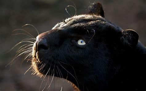 all black jaguar jaguar wallpaper animal black johnywheels com