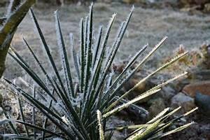 Yucca Palme Winterhart : yucca frostempfindlich oder winterhart palmlilie ~ A.2002-acura-tl-radio.info Haus und Dekorationen