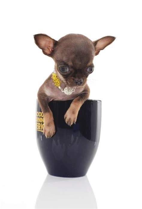 Miracle Milly: Upoznajte najmanjeg psa na svetu
