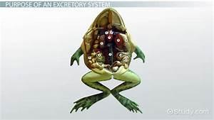Amphibians  Excretory System