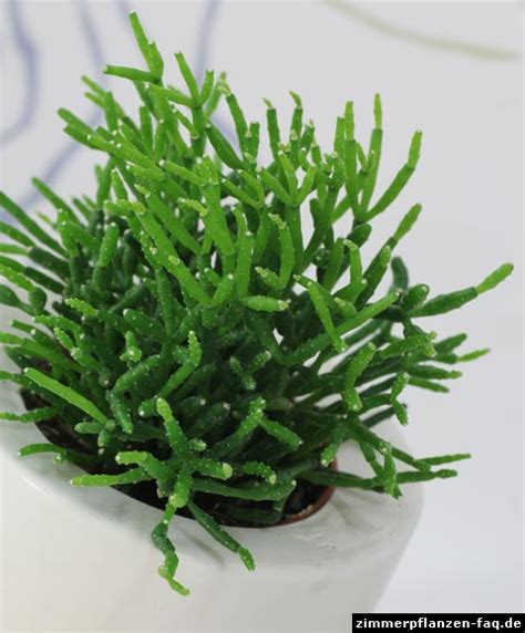 Rhipsalis Kakteen Pflege by Rhipsalis Cereuscula