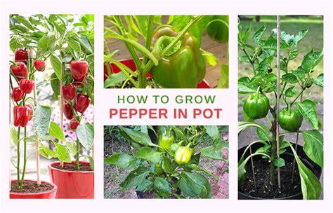 simplest ways      bell pepper plants