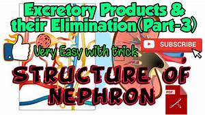 Structure Of Nephron Excretory System Part