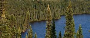 New Study  As Climate Changes  Boreal Forests To Shift