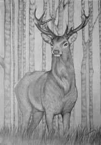 Stag Deer Drawings