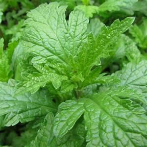 Verveine Plante Tisane : verveine officinale lot de 3 godets de 7 cm gamm vert ~ Mglfilm.com Idées de Décoration