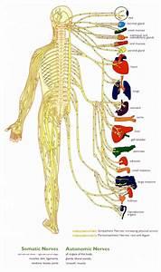 Central Nervous System Diagram For Kids
