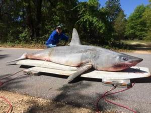 Gulf great white sharks, Katharine and Betsy, are heading ...